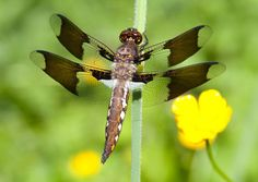 dragonflies - Google Search