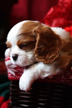 Cavalier King Charles Spaniel Puppies for sale at Adorme Cavaliers, CKCSC Champions and AKC Champion Cavalier King Charles Spaniels - null
