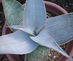 Aloe karasbergensis | Flickr - Photo Sharing!