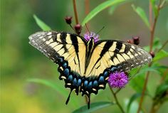 Google Image Result for http://2.bp.blogspot.com/-3T9dfiZWM5A/TV9Rmi5ftRI/AAAAAAAAAQY/iptZl6VZeLA/s1600/lep_tiger_swallowtail_butterfly06.jpg