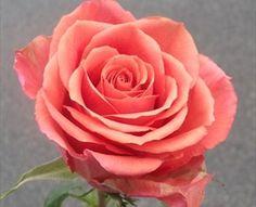 Milonga - Standard Rose - Roses - Flowers by category Cut Flowers, Colorful Flowers, Flower Colors, Coral Roses, Rose Varieties, Handfasting, Cute Kids, Flower Power, Peach