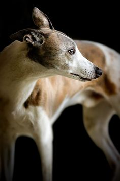 <3 Greyhound? or maybe whippet? I'm not too good at identifying dogs. -LW