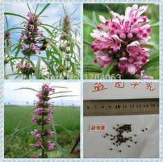 100pcs Wholesale 100% authentic  Leonurus artemisia  seeds flower seeds rare plants,  Bonsai  organic seeds