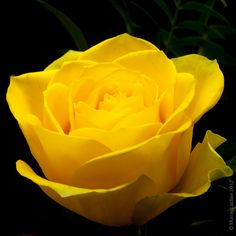 Yellow Rosa / Rose