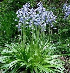 Spanish Bluebells (Hyacinthoides) Blue bluebells for shade garden