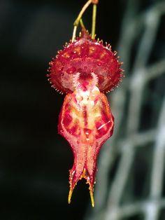 Lepanthes nycteris - Photo © Eric Hunt