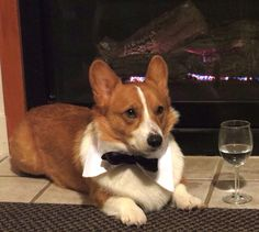 Date night!  Our buddy Loki #corgistagram is #handsome in his Fetch Dog Fashions #bowtie.  He is ready for his date ;) Bow Ties available $6.99 - $10.99 at www.fetchdogfashions.com #corgi #datenight #instafamous Photo thanks to @corgistagram