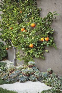 Espalier tangerine tree surrounded by succulents. Designer Scott Shrader. Photo by Mark Adams.