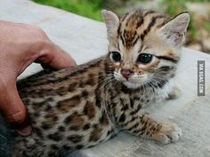 Awesome baby Savannah cat that I will have in the future