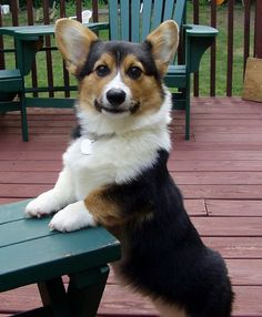 Pembroke Welsh Corgi. The dog I want!!! Its as short as me!!!