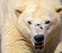 Fierce Polar Bear (Tambako the Jaguar)