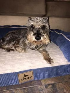 Check out Pepper's profile on AllPaws.com and help him get adopted! Pepper is an adorable Dog that needs a new home. https://www.allpaws.com/adopt-a-dog/schnauzer/3799899?social_ref=pinterest