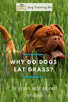 Find out the reasons why dogs eat grass. We answer questions like, is it safe for them and what should you do about it? Watch a helpful video to explain all this and more in our article! #whydogseatgrass #grasseatingdogs #isitsafefordogs #dogcare