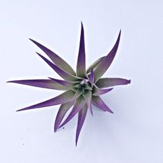 Color is an organic enhancement. Color will last as long as an average color change of an air plant months minimum if not longer. Plant will come at around 3 or larger Will grow when fully grown All plants will bloom upon maturity. Air Plants Care, All Plants, Plant Care, Air Plants Wholesale, Plant Crafts, Low Maintenance Plants, Terrarium Diy, Hanging Planters, Shades Of Green