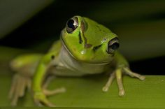 Bell frog | by SMB(spidermanbryce)