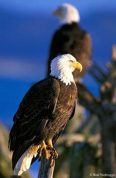 Águila mirando al horizonte
