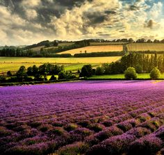 Lavender, I want to visit a field of lavender someday! Such beauty!
