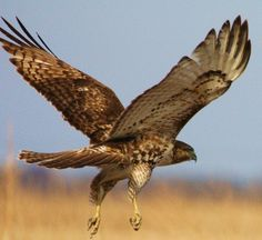 The average red-tailed hawk lives twenty years in the wild. Its eyesight is eight times more powerful than a human's.