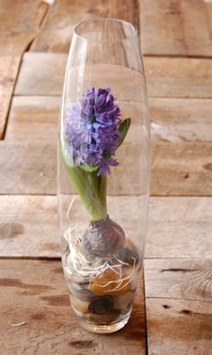 a living vase of purple Hyacinth for effect