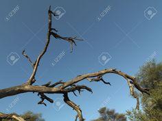 7188065-Dead-tree-branch-in-Kenya-Africa-Stock-Photo.jpg (1300×975)