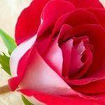 "12 Beğenme, 1 Yorum - Instagram'da Medine Basaran (@basaran.medine): ""hayirli cumalar 😍jummah Mubarak 😍🤗🌹💐🌷"" Rose, Instagram Posts, Flowers, Pink, Roses, Royal Icing Flowers, Flower, Florals, Floral"