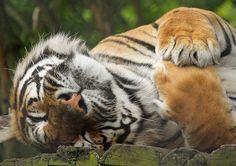 Cute Tiger   Flickr - Photo Sharing!