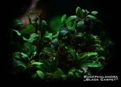 Bucephalandra sp. Black Carpet | Tomasz Wastowski | Flickr Freshwater Aquarium Plants, Glass Aquarium, Live Aquarium Plants, Aquarium Design, Planted Aquarium, Aquarium Ideas, Aquascaping Plants, Plant Guide, Black Carpet
