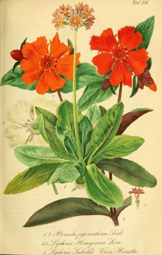 heaveninawildflower:  Primula and Lychnis. Plate from 'Gartenflora' (1863). Biodiversity Heritage Library archive.org