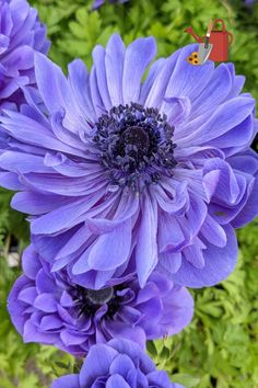 Anemones are stunning flowers. Plant corms in fall for spring blooms, or buy blooming plants to plant in containers or in beds.