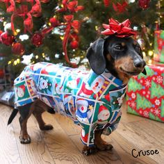 """Crusoe the celebrity dachshund 