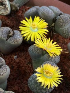Lithops olivacea v. Lithops Pseudotruncatella, African Plants, Cacti, Garden, Succulents, Plants, Succulent Plants, Cactus Plants, Garten