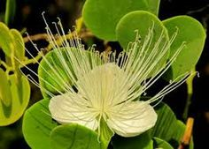 capparis cartilaginea