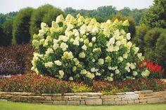 Fine Line® - Buckthorn - Rhamnus frangula