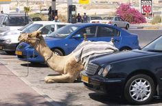 Meanwhile in Israel. 40 funny pics from Israel. Animal Pictures, Funny Pictures, Crazy Pictures, Funny Images, Bing Images, Foto One, In This World, Arte Judaica, Funny Animals