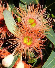 Flower Homes: Rare or Odd Flowers - Orange Gum flowers Australian Wildflowers, Australian Native Flowers, Australian Plants, Australian Bush, Unusual Flowers, Amazing Flowers, Wild Flowers, Beautiful Flowers, Orange Flowers