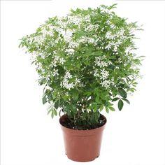 plante d 39 int rieur yucca 2 troncs pot blanc. Black Bedroom Furniture Sets. Home Design Ideas