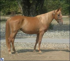 SOLD - GOLDWELL'S EVENING DELIGHT  #20804775- DOB: 6/23/2008.(aka Mandy) 15.2 hands  chestnut Tennessee Walking Horse mare out of Final's Goldwell and Ironclad Cricket. She has the bloodlines to match her outstanding conformation! Beautiful long striding mare with presence and personality Plus.Priced at $3000. Horse is located in Tennessee. Overseas transport can be arranged.   http://www.walkerswest.com/Stalls/GoldwellsEveningDelight.htm
