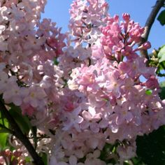 This is a fine pink, almost a shrimp color. If you're looking for a true pink, this is it. Syringa Vulgaris, Vintage Room, Lilacs, Climbers, Outdoor Projects, Dream Garden, Hedges, Easy Desserts, Abundance