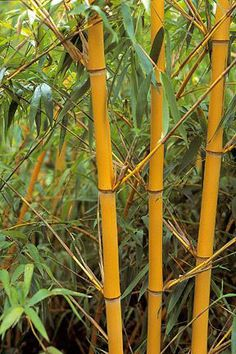 Find help & information on Phyllostachys vivax f. aureocaulis golden Chinese timber bamboo from the RHS Bamboo Landscape, Landscape Design, Garden Design, Garden Shrubs, Garden Plants, House Plants, Plants Near Me, Live Plants, Bamboo Plants For Sale