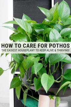 How to Care for Pothos: Golden Pothos Plant Care & Instructions - - Learn how to care for pothos plants. Golden pothos plant care is easy, and pothos plants are some of the easiest houseplants to keep alive. Pothos Plant Care, Golden Pothos Plant, Pothos Vine, Sansevieria Plant, Water Plants, Garden Plants, Flowering Plants, Cactus Plants, Low Maintenance Indoor Plants