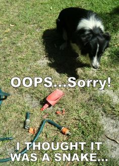 Scoota and the Hose- Border Collie shame! But he's really very sorry and hasn't done it again, yet!