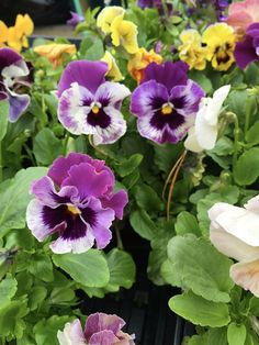 Plant pansies now for instant color