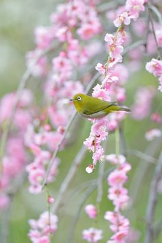 Japanese White-Eye with Plum Blossoms