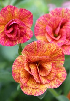 ~~Calibrachoa, Sweet Chimes Cherry Lemonade   prolific trailing bloomer produces striking double blooms bespeckled with bright red and yellow hues. Beautiful as it tumbles over the edges of combination baskets and planters, Cherry Lemonade also impresses in hanging baskets on its own   Tried & True~~