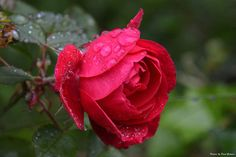 beautiful garden of roses - Pesquisa Google