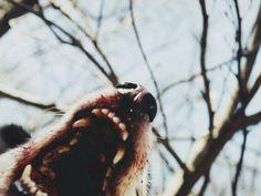 wolf, blood, and dog-bilde Jon Snow, Luna Lovegood, Teen Wolf, Wolf Hybrid, Timberwolf, Malia Tate, The Ancient Magus Bride, The Rocky Horror Picture Show, Merian