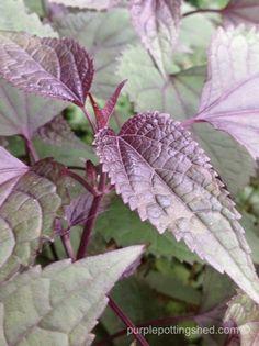 Chocolate Boneset - bronze, green, purple foliage for the shade garden, www.purplepottingshed.com