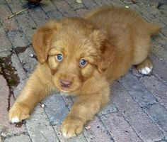 Loulou the Nova Scotia Duck Tolling Retriever-Hello beautiful blue eyes!