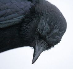 A crow reminds me of playing Crow with my grandaddy. Beautiful upclose shot of the crow. The Crow, Haikyuu, Beautiful Creatures, Choucas Des Tours, Foto Picture, Yennefer Of Vengerberg, Quoth The Raven, Jackdaw, Crows Ravens