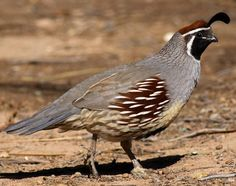 Quail: Two Pretty Plump Quails With Short Black Beaks And A Curved ...